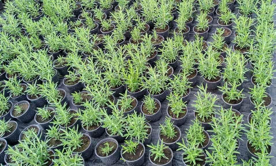 sadzonki zioła rozmarynu green within